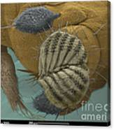 Sem Of A Fruit Fly Mouth Canvas Print