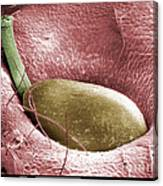 Sem Of A Strawberry Seed Canvas Print