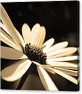 Sepia Daisy Flower Canvas Print