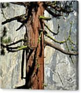 Sequoia And El Capitan Canvas Print