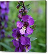 Serenita Purple Canvas Print