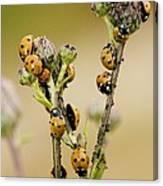 Seven-spot Ladybirds Eating Aphids Canvas Print