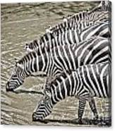 Several Thirsty Zebra Canvas Print