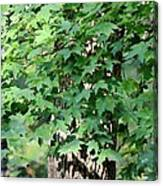 Shadows Of The Sweet Gum Canvas Print