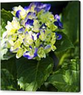 Shadowy Purple And White Emerging Hydrangea Canvas Print