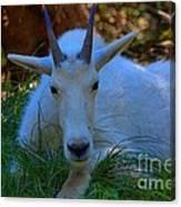 Shady Goat Canvas Print