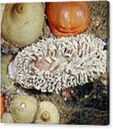 Shaggy Mouse Nudibranch Canvas Print