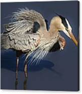 Shaking Out My Tail Feathers Canvas Print