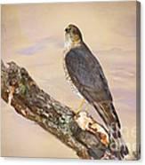 Sharp-shinned Hawk Canvas Print