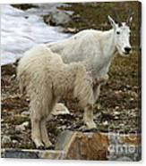 Shedding Mountain Goat Canvas Print