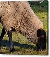 Sheep 3 Canvas Print