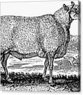 Sheep, C1800 Canvas Print