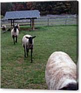 Sheep Feed Time Canvas Print