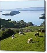 Sheep Grazing By Lough Corrib Cong Canvas Print