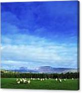 Sheep Grazing In Field County Wicklow Canvas Print