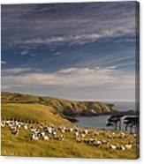 Sheep Grazing In Headland Canvas Print