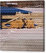 Sheep In A Snowy Field Canvas Print