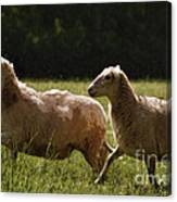 Sheep On The Move Canvas Print