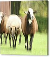 Sheep On The Run Canvas Print