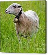 Sheep With A Bell Canvas Print