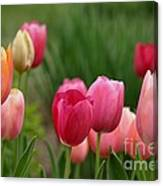 Sherbert Color Tulips Canvas Print