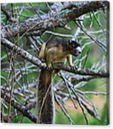 Shermans Fox Squirrel Canvas Print