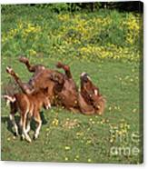 Shetland Pony And Foal Playing Canvas Print