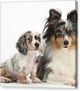 Shetland Sheepdog And Dachshund Puppy Canvas Print
