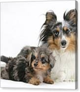 Shetland Sheepdog With Pup Canvas Print