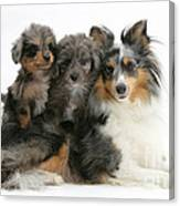 Shetland Sheepdog With Puppies Canvas Print