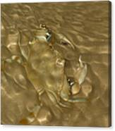 Shimmering Crab Canvas Print