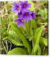 Shining Primula (primula Amoena) Canvas Print