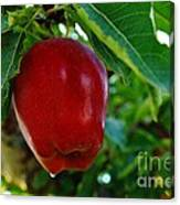 Shiny Red And Ripe  Canvas Print