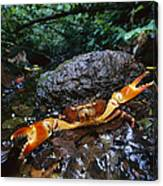 Short-tailed Crab Potamocarcinus Sp Canvas Print