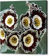 Show Auricula 'queen Bee' Flowers Canvas Print