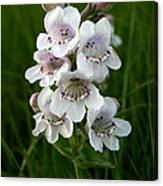 Showy Beardtongue Flower Canvas Print