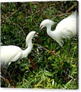 Showy Snowy Egrets Canvas Print
