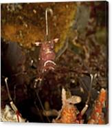Shrimp With Legs And Claws Spread Wide Canvas Print
