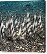 Shrimpfish Canvas Print