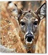 Shy Doe Canvas Print