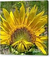 Shy Sunflower Canvas Print