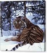 Siberian Tiger Lying On Mound Of Snow Canvas Print