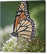 Side Profile Of A Monarch Canvas Print