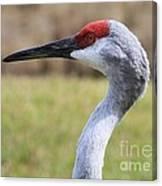Sideways Sandhill Crane Canvas Print