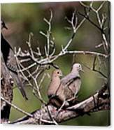 Siesta Time - Mourning Dove Canvas Print