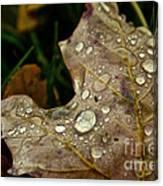 Silver Maple Rain Canvas Print