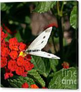 Silver Moth Canvas Print