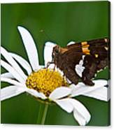 Silver Spotted Skipper 2 Canvas Print