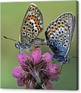 Silver-studded Blue Plebejus Argus Canvas Print