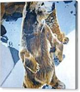 Silvertip Grizzly Bear Canvas Print